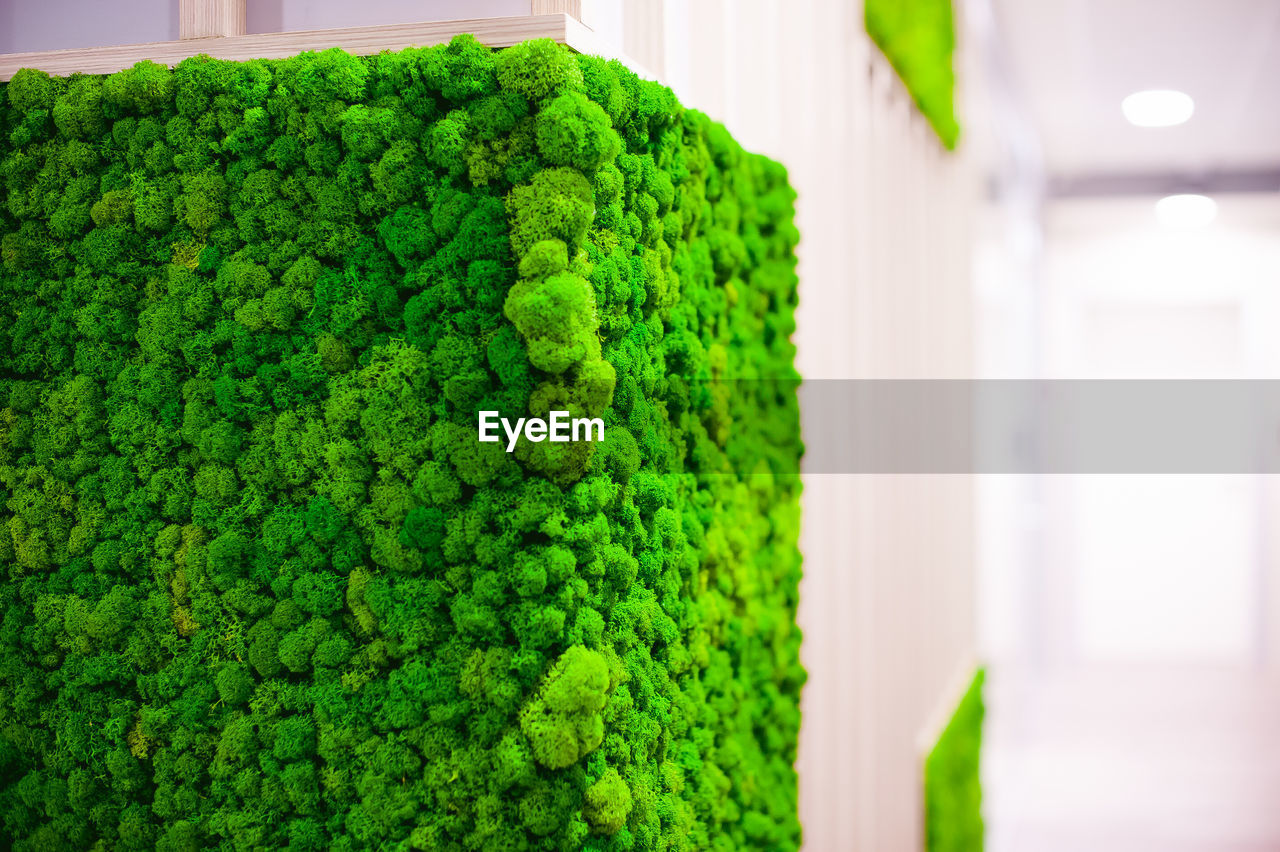 green color, no people, growth, indoors, plant, healthy eating, close-up, food and drink, day, freshness, focus on foreground, nature, broccoli, vegetable, food, green, wellbeing, beauty in nature, in a row, hedge