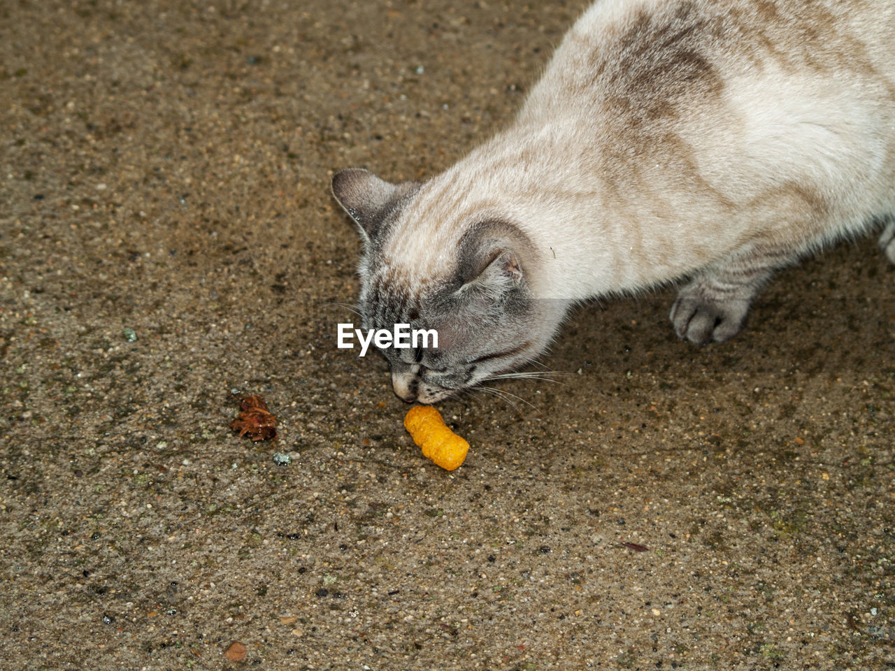animal, animal themes, one animal, mammal, cat, domestic cat, food and drink, domestic animals, domestic, vertebrate, food, pets, feline, healthy eating, fruit, eating, high angle view, no people, land, day, hungry, whisker, mouth open
