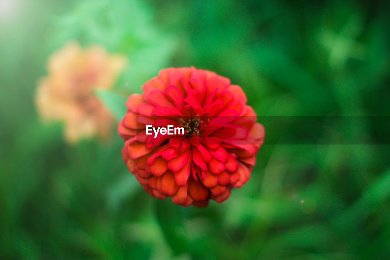 flowering plant, flower, vulnerability, fragility, freshness, beauty in nature, growth, plant, flower head, inflorescence, petal, close-up, zinnia, red, focus on foreground, nature, no people, day, outdoors, pollen