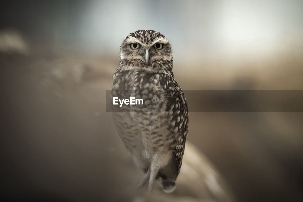 bird, bird of prey, animal themes, animal, one animal, vertebrate, animals in the wild, animal wildlife, owl, selective focus, close-up, no people, focus on foreground, portrait, looking at camera, day, front view, nature, outdoors, zoology, falcon - bird, animal eye, yellow eyes, eagle