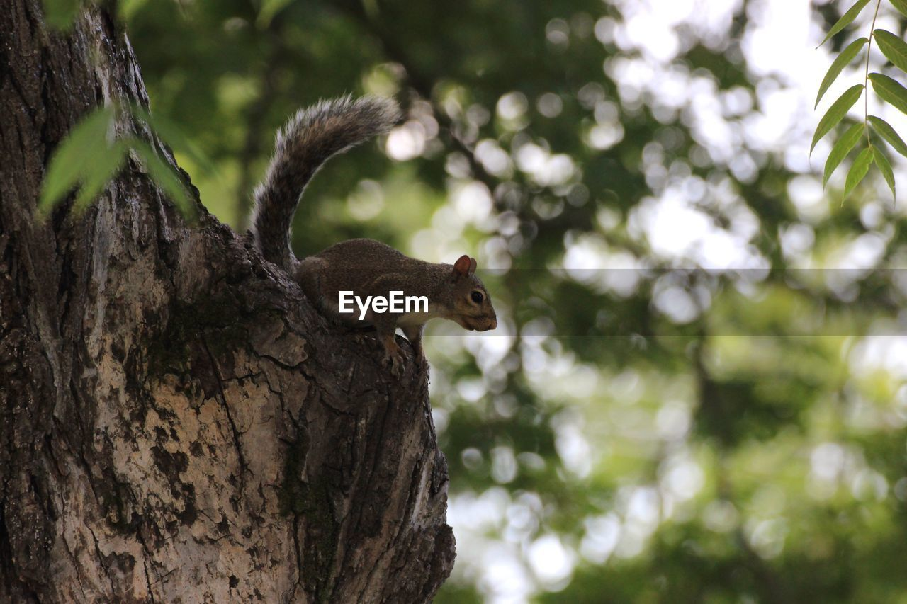 tree, animal themes, animal, animal wildlife, plant, animals in the wild, one animal, focus on foreground, squirrel, tree trunk, mammal, rodent, trunk, vertebrate, nature, no people, branch, day, low angle view, outdoors, bark