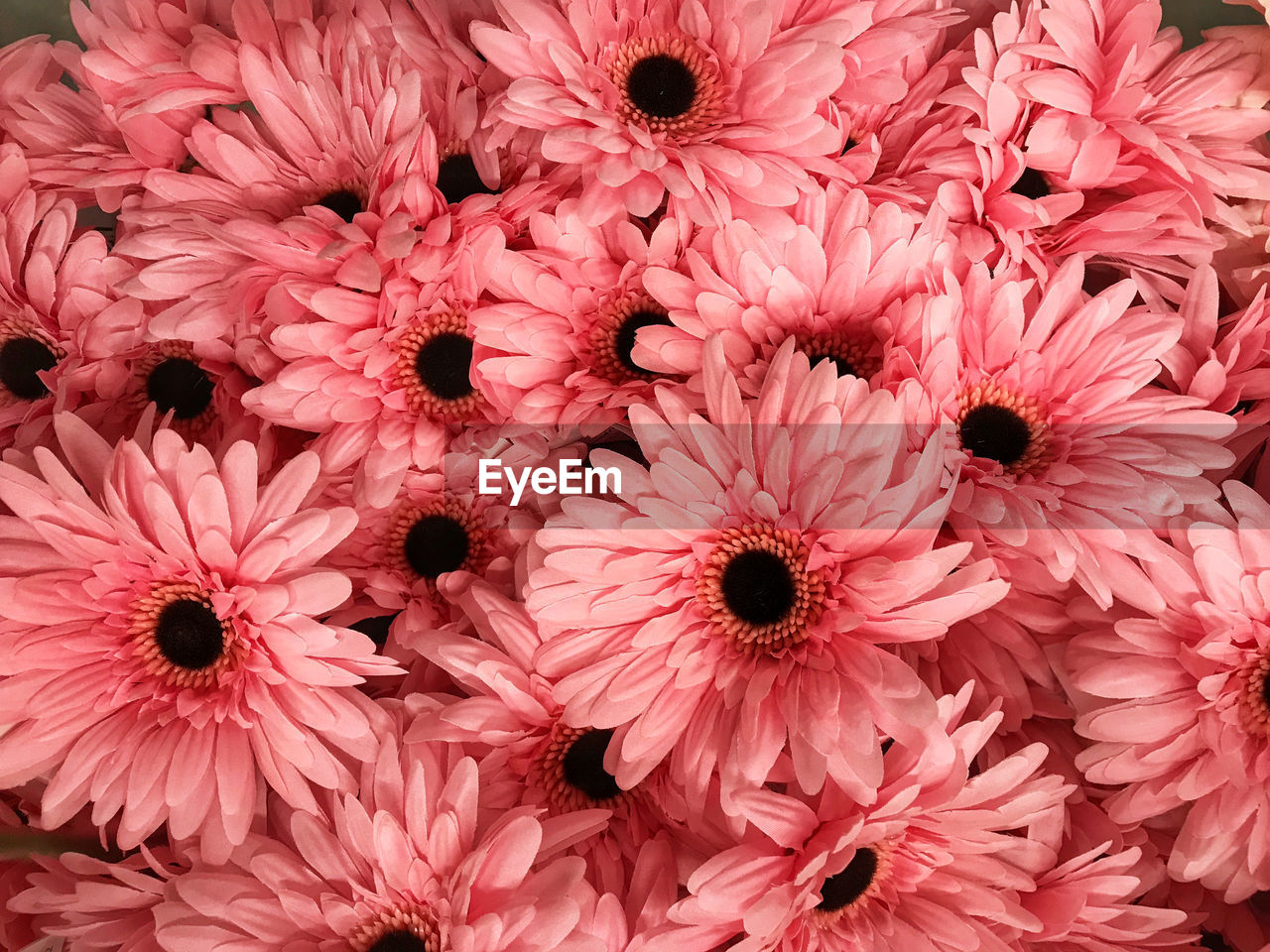 flower, flowering plant, petal, full frame, freshness, vulnerability, flower head, fragility, pink color, inflorescence, backgrounds, close-up, beauty in nature, plant, no people, growth, gerbera daisy, day, nature, abundance