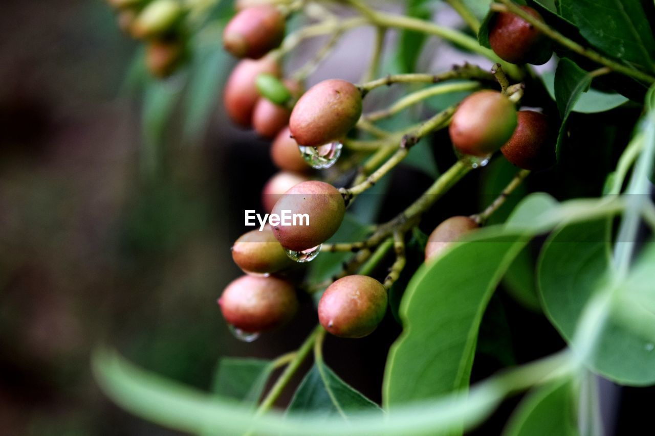 growth, food, healthy eating, food and drink, fruit, plant, leaf, plant part, freshness, green color, selective focus, close-up, nature, day, tree, wellbeing, no people, agriculture, beauty in nature, outdoors, ripe