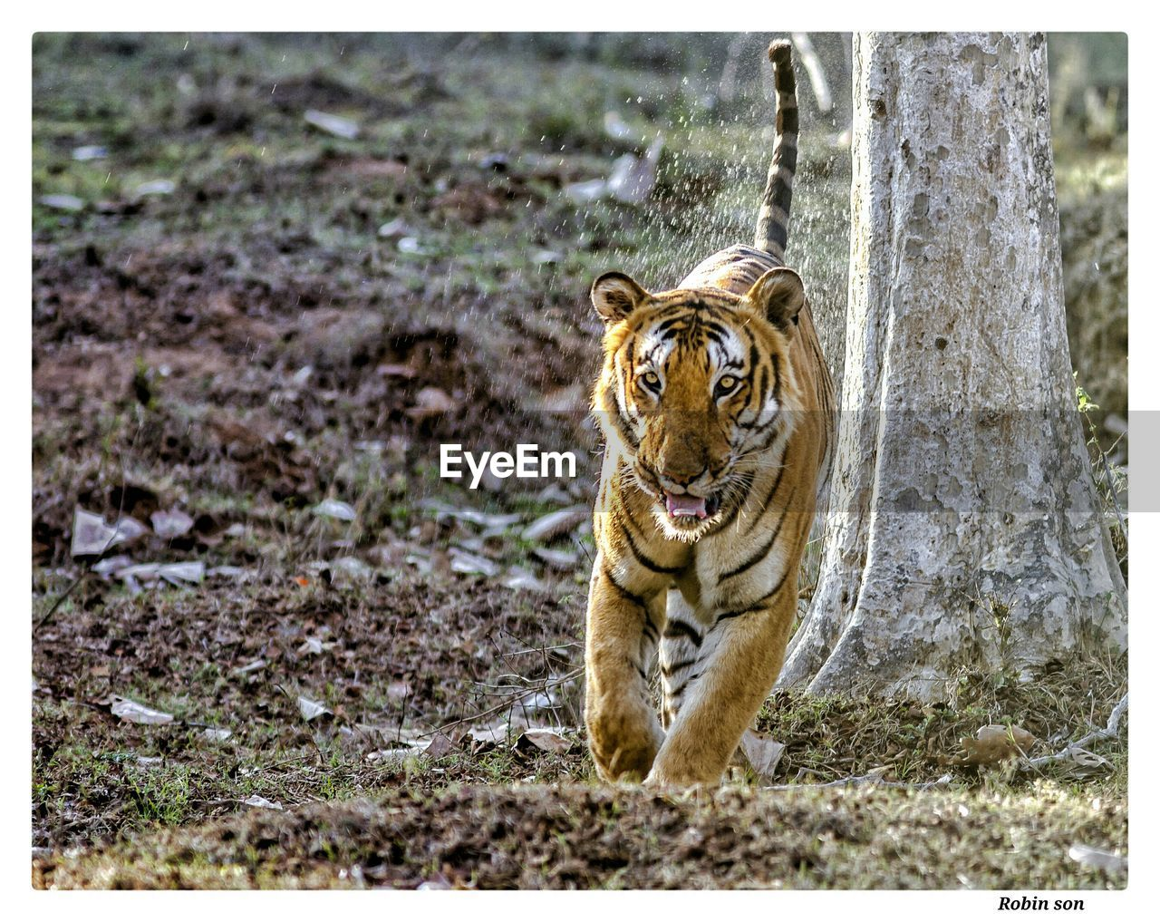 animal, animal themes, mammal, one animal, animal wildlife, animals in the wild, auto post production filter, transfer print, cat, feline, tiger, big cat, land, nature, vertebrate, no people, day, looking at camera, endangered species, outdoors, undomesticated cat, mouth open