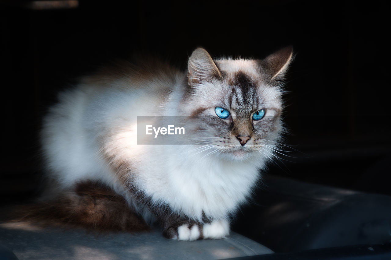 domestic, pets, domestic cat, domestic animals, cat, feline, mammal, animal, animal themes, vertebrate, one animal, portrait, no people, looking at camera, whisker, indoors, looking, close-up, sitting, animal eye