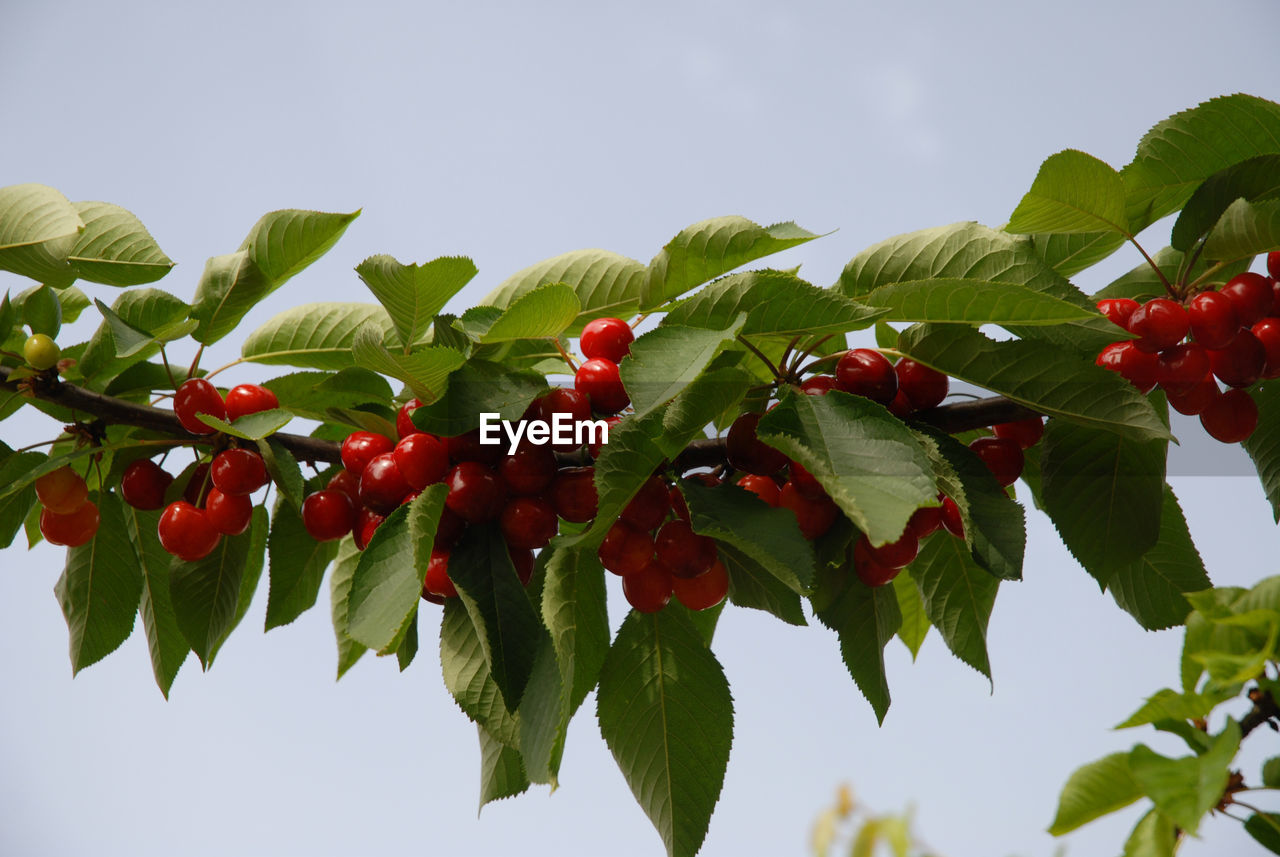 Close-up of cherry branch