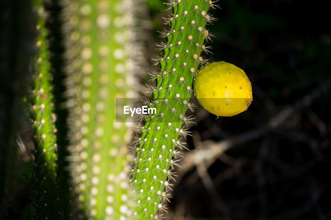 Fruit Growing On Cactus At Night