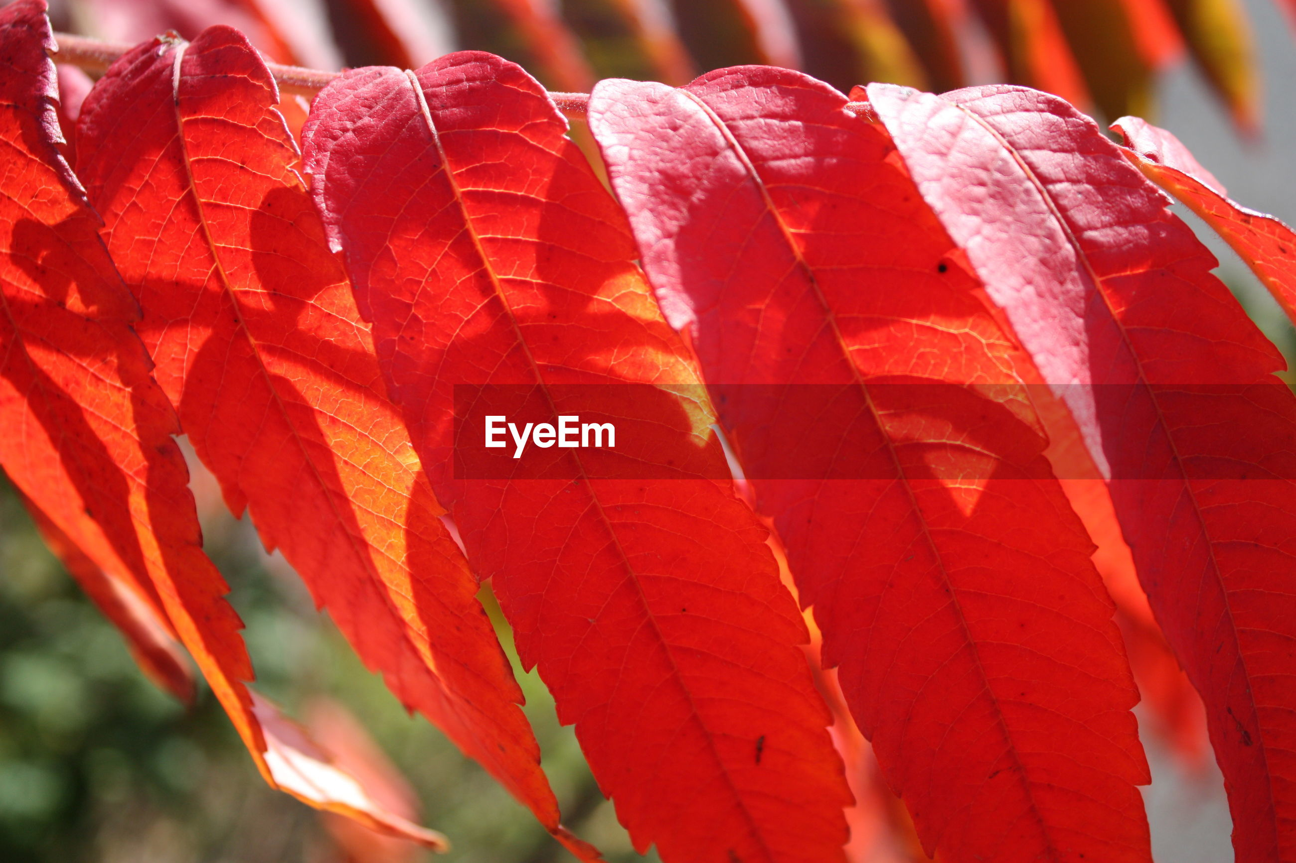 CLOSE UP OF RED LEAF