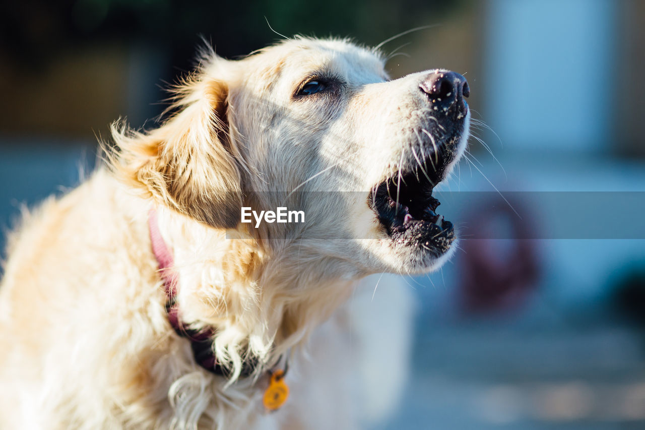 Close-up of dog with mouth open looking away