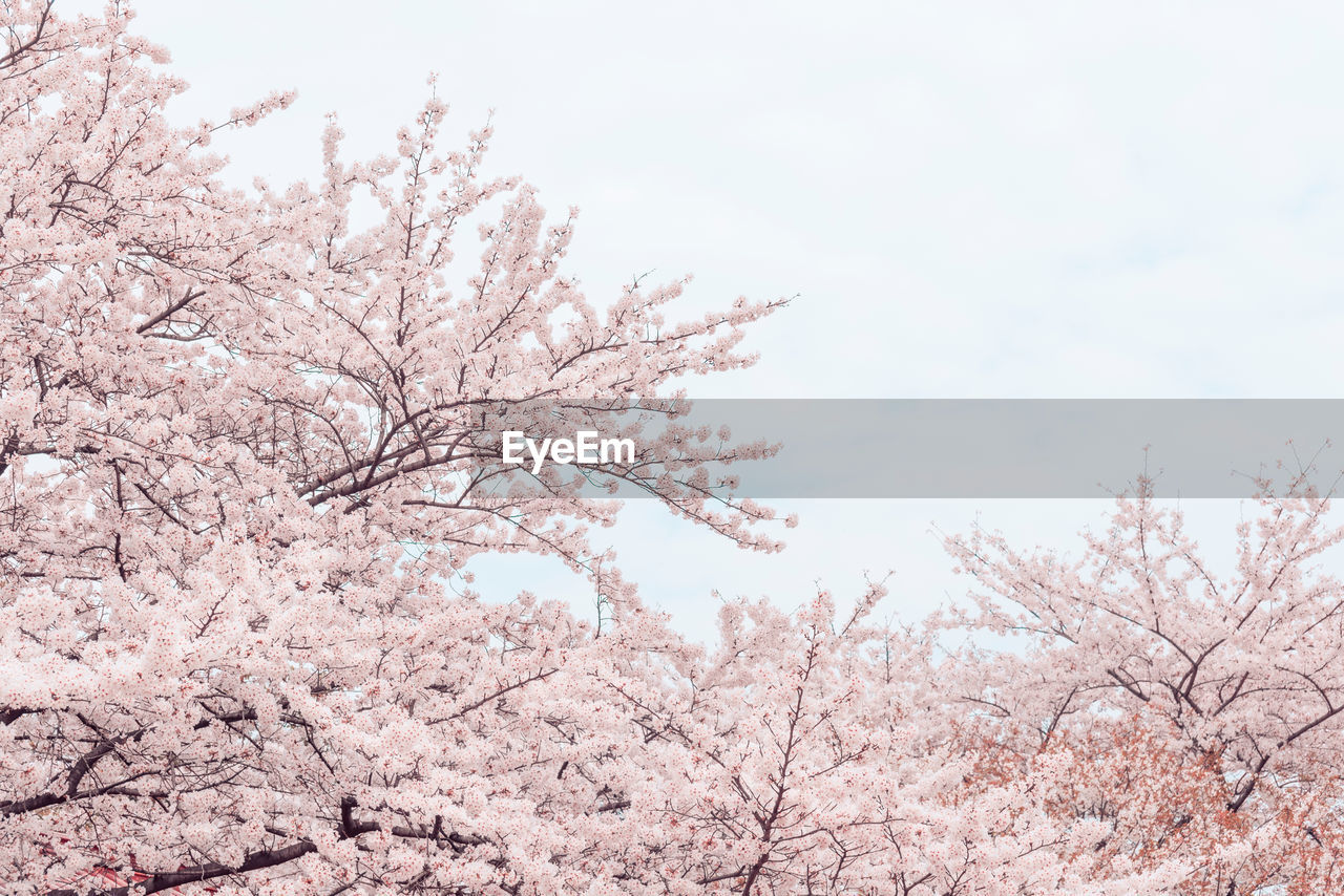 tree, plant, beauty in nature, sky, low angle view, branch, nature, blossom, pink color, flowering plant, flower, springtime, no people, tranquility, day, growth, cherry blossom, fragility, freshness, clear sky, cherry tree, outdoors