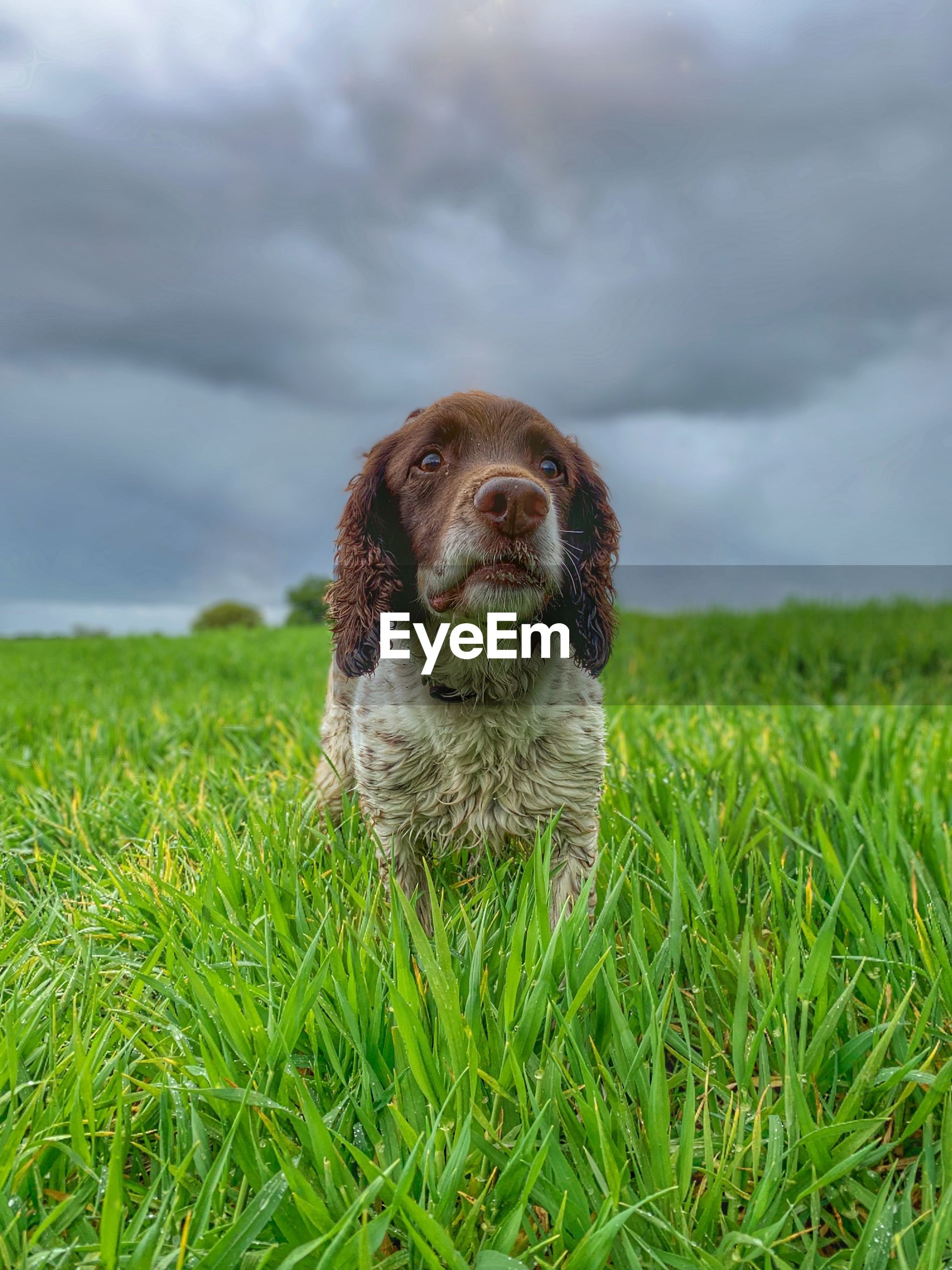 one animal, animal themes, mammal, grass, pets, animal, domestic animals, domestic, plant, cloud - sky, canine, dog, green color, land, field, nature, vertebrate, sky, portrait, no people, outdoors