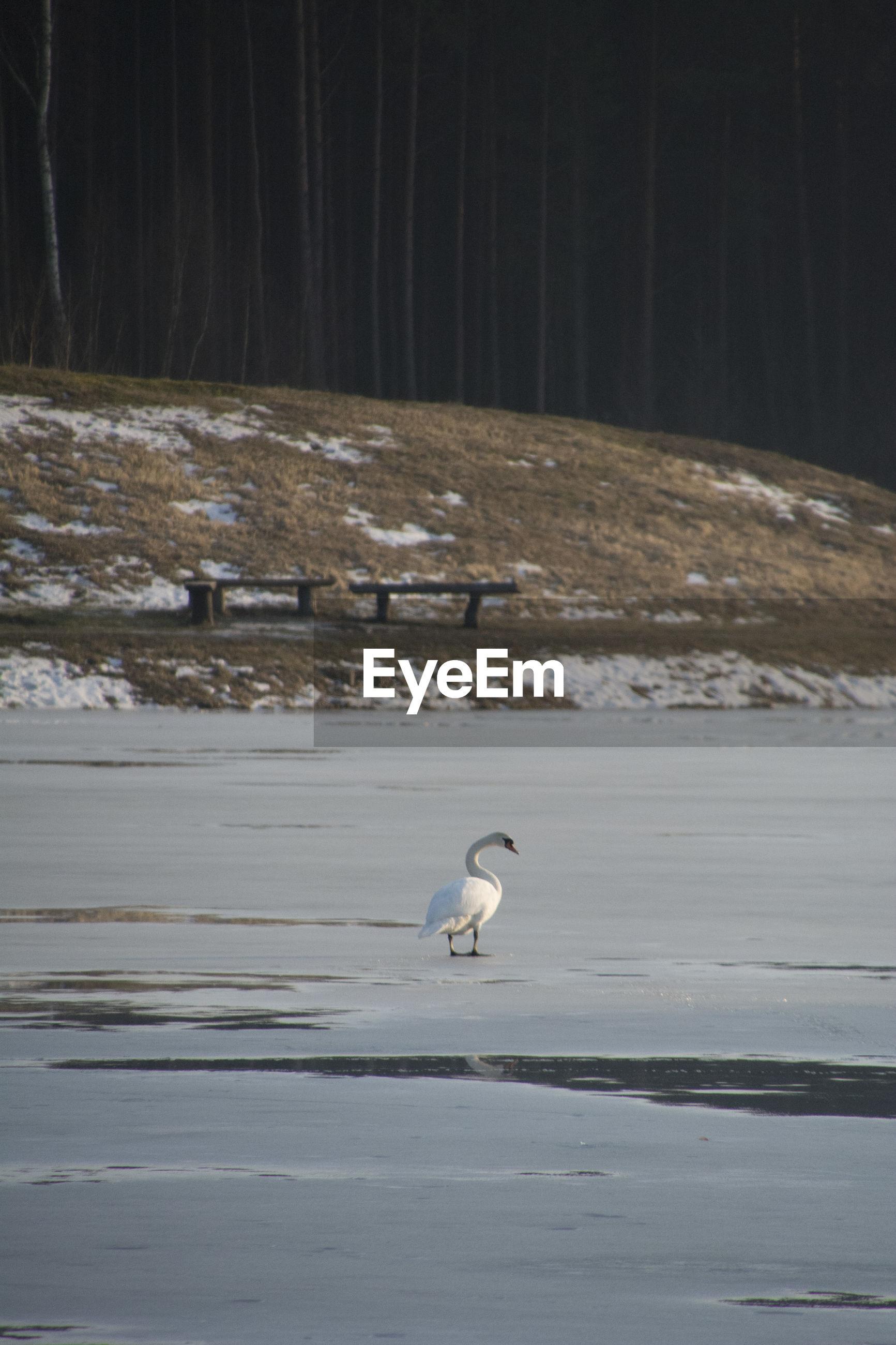 Swan walking on snow during winter