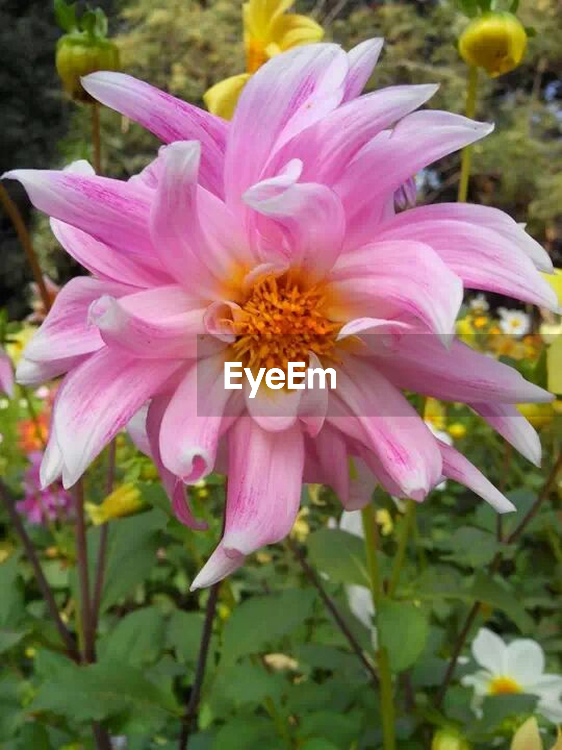 flower, petal, freshness, flower head, fragility, growth, beauty in nature, close-up, pink color, blooming, focus on foreground, pollen, nature, yellow, plant, in bloom, single flower, stem, blossom, day