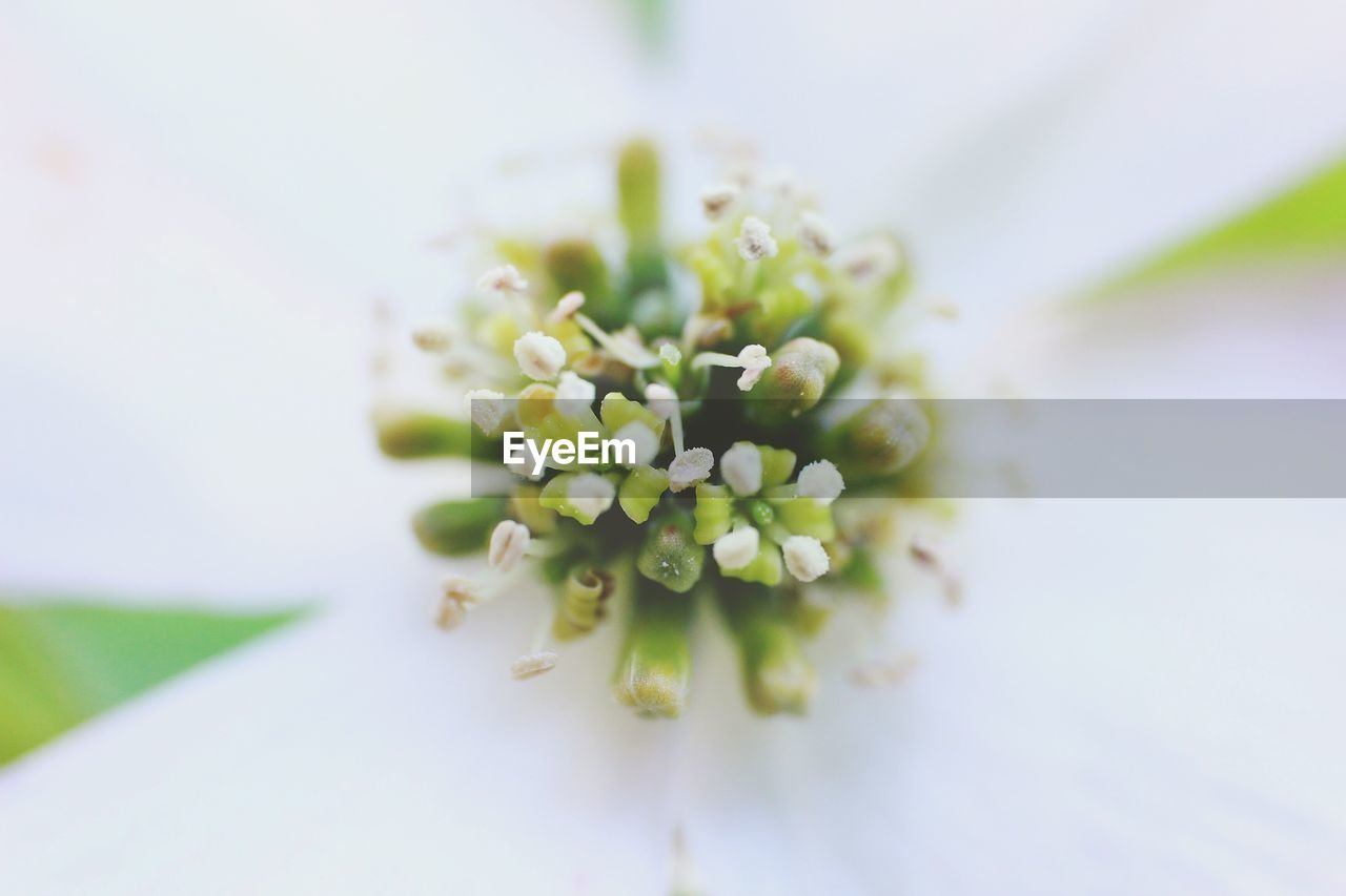 flower, freshness, nature, white color, green color, beauty in nature, fragility, selective focus, close-up, no people, growth, plant, flower head, petal, day, outdoors