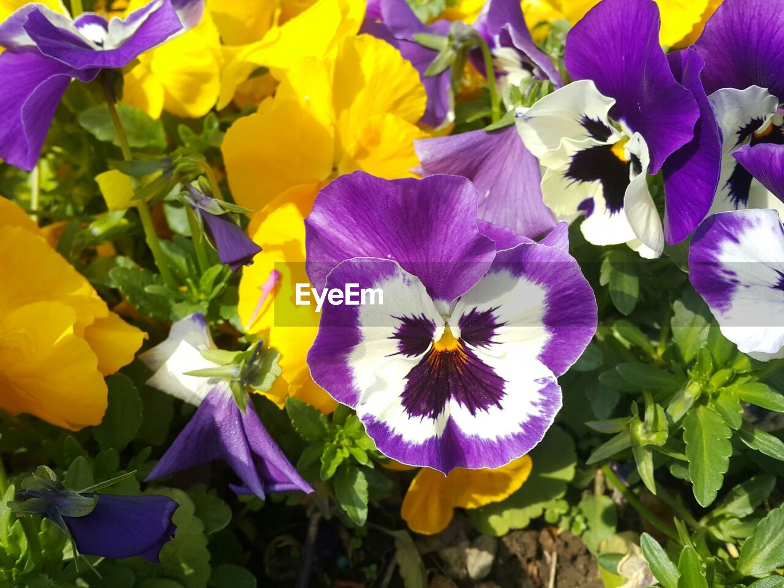 flower, petal, freshness, fragility, flower head, nature, purple, beauty in nature, close-up, pansy, plant, growth, blooming, no people, day, outdoors