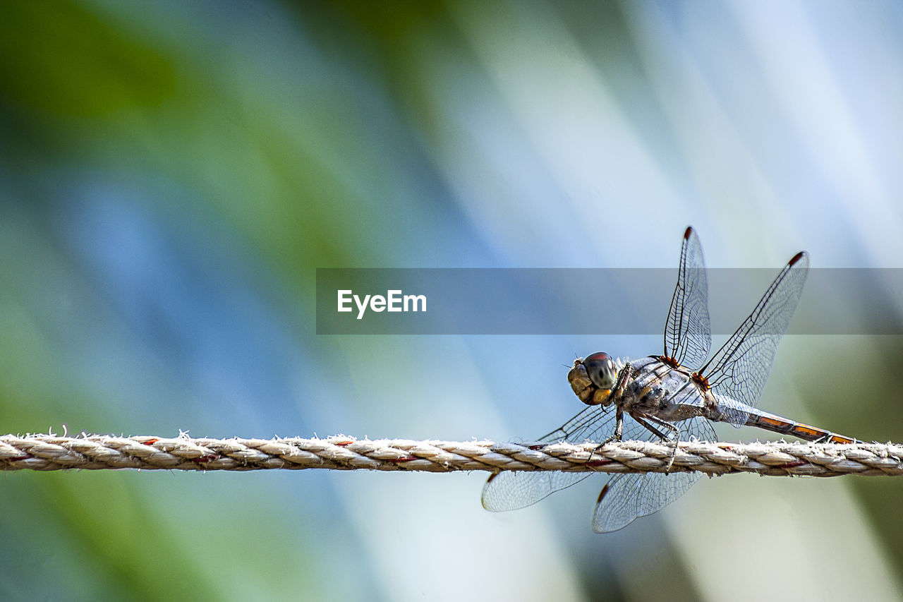invertebrate, animal, insect, animal themes, animals in the wild, animal wildlife, one animal, focus on foreground, animal wing, close-up, day, plant, nature, no people, dragonfly, outdoors, blue, plant stem, selective focus, beauty in nature