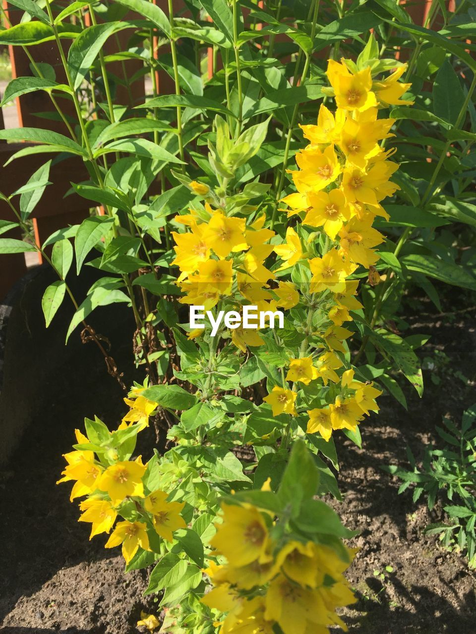 flower, yellow, plant, growth, nature, fragility, freshness, leaf, beauty in nature, field, outdoors, petal, day, no people, green color, flower head, blooming, close-up