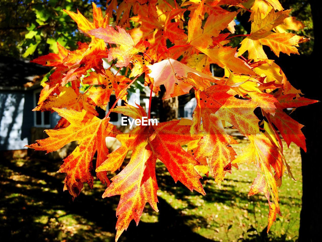 autumn, leaf, change, orange color, maple leaf, outdoors, tree, day, nature, no people, maple tree, close-up, beauty in nature, fragility, maple, growth, focus on foreground, building exterior, freshness