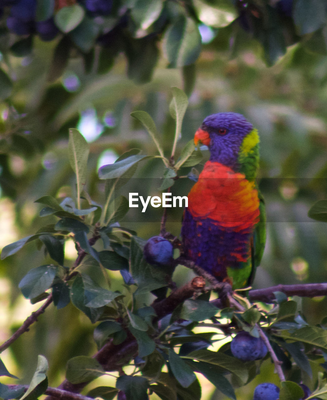 one animal, animals in the wild, animal themes, nature, perching, rainbow lorikeet, branch, animal wildlife, beauty in nature, bird, day, outdoors, focus on foreground, tree, multi colored, no people, parrot, close-up