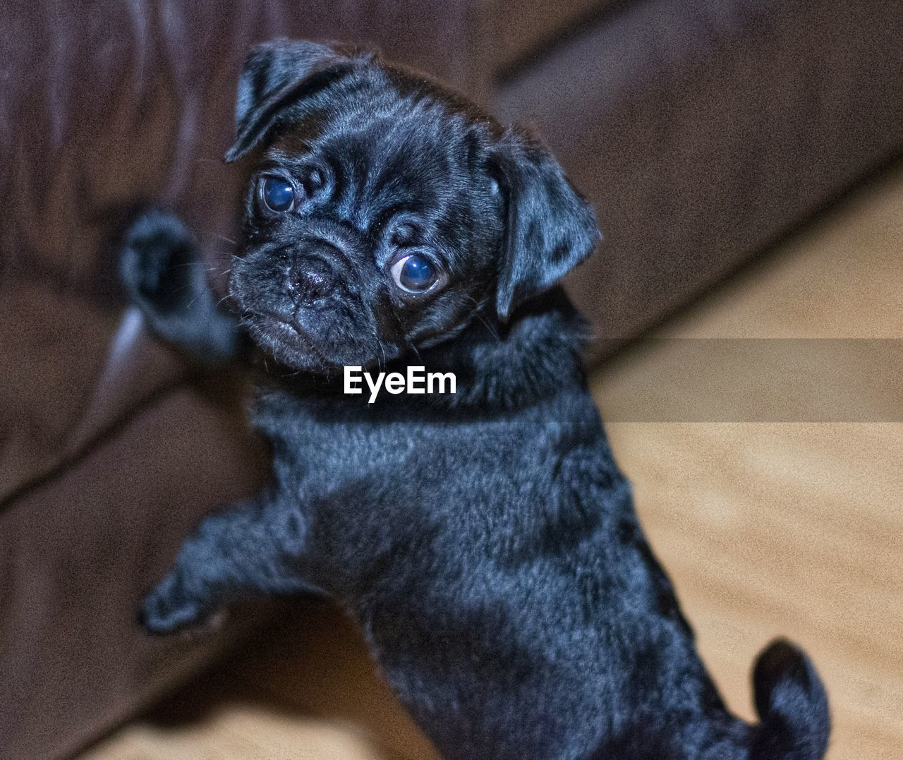 dog, pets, one animal, domestic animals, animal themes, mammal, indoors, puppy, pug, no people, looking at camera, portrait, sitting, day, close-up