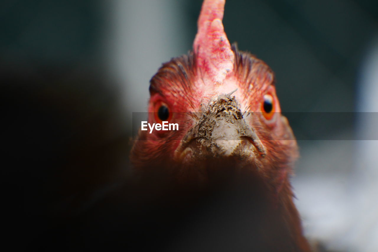 Close-Up Of A Chicken