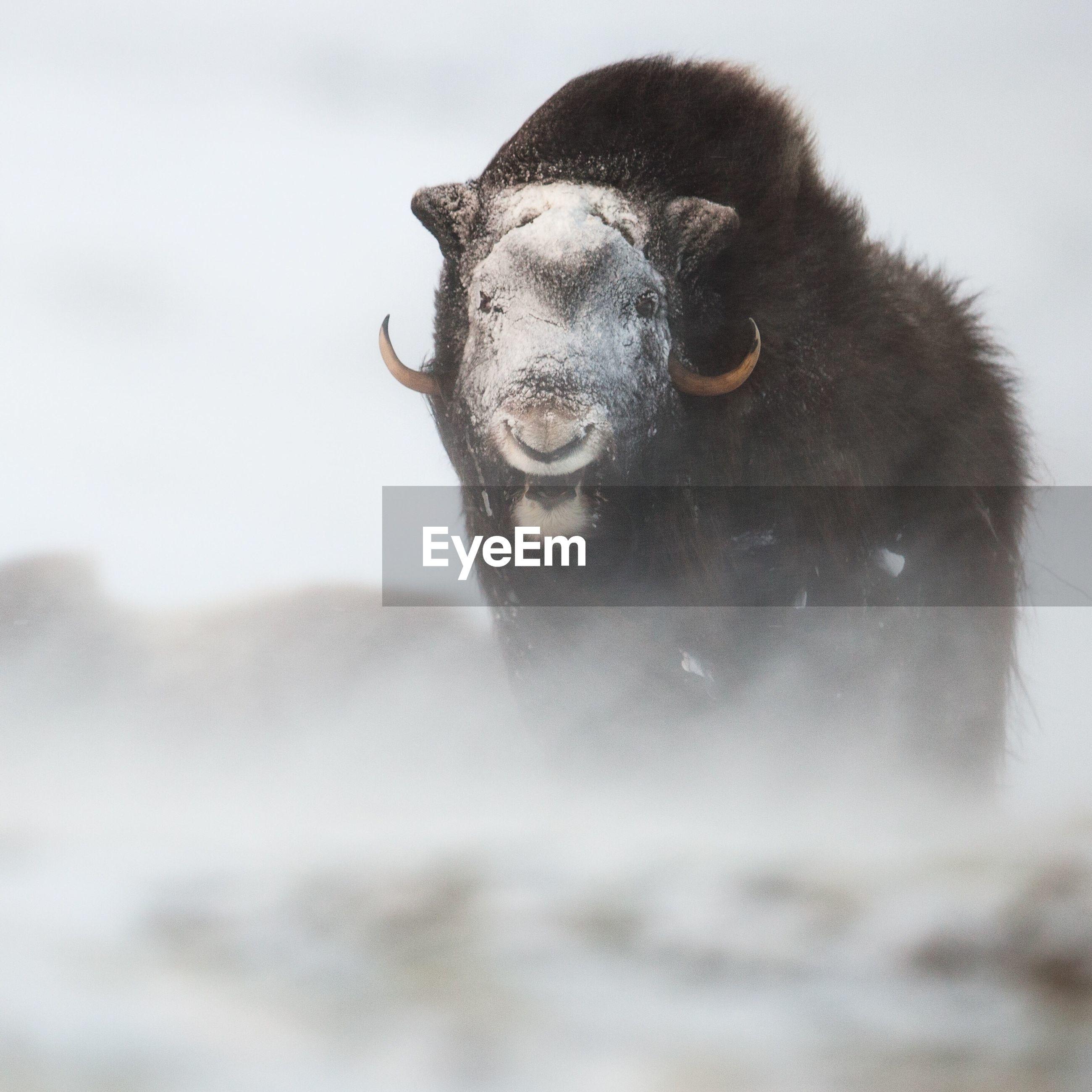 Portrait of animal in snow