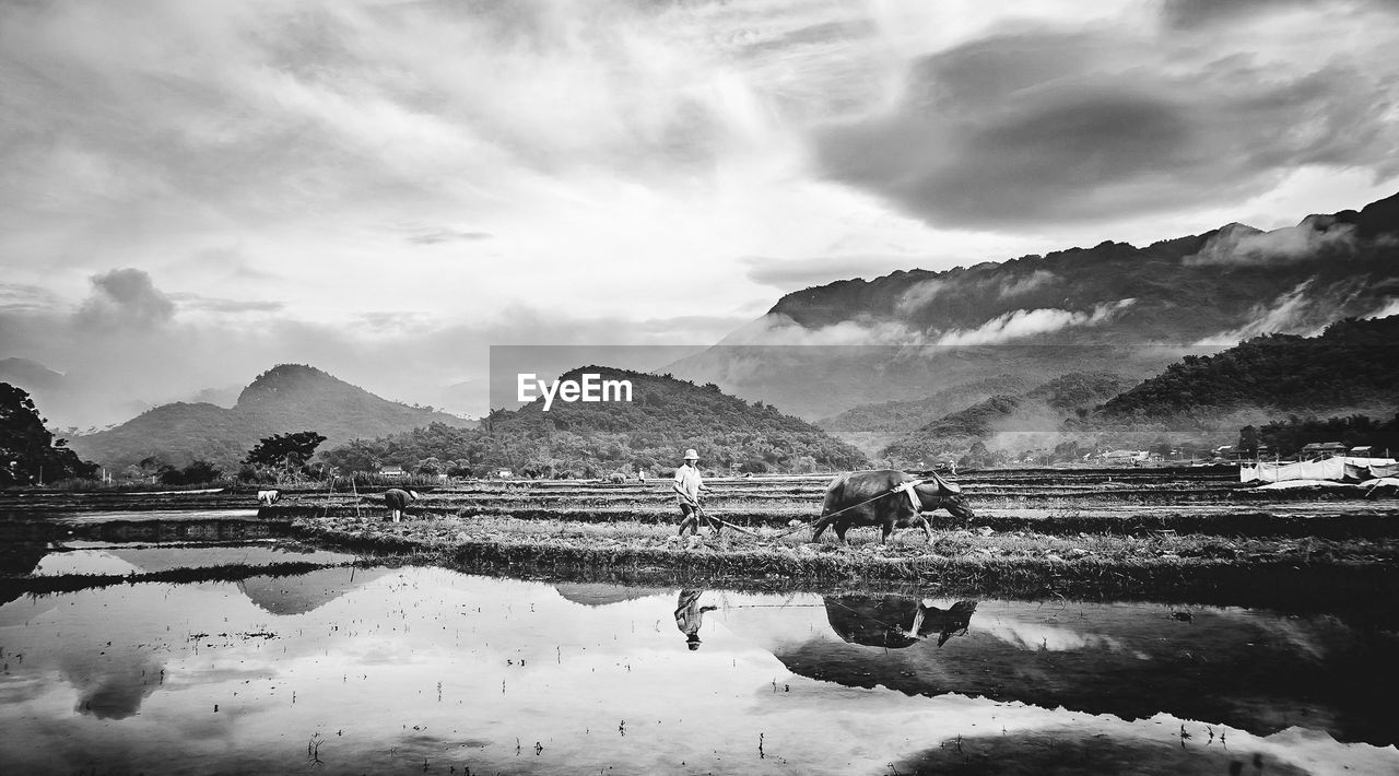 Farmer With Water Buffalo On Field Against Sky