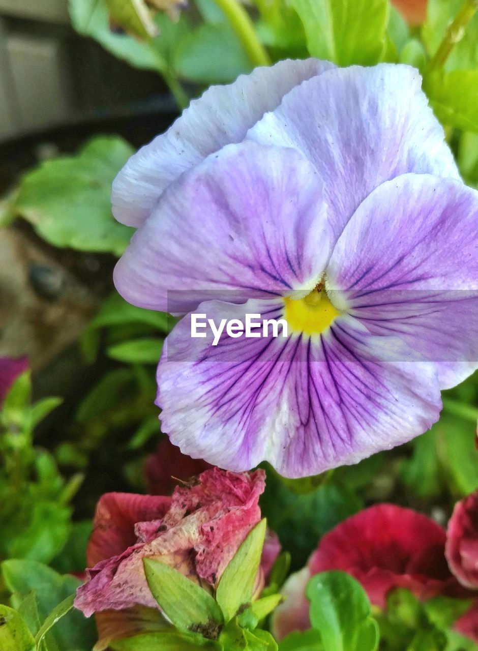 flower, petal, fragility, nature, beauty in nature, flower head, plant, growth, no people, day, outdoors, freshness, close-up, blooming, petunia