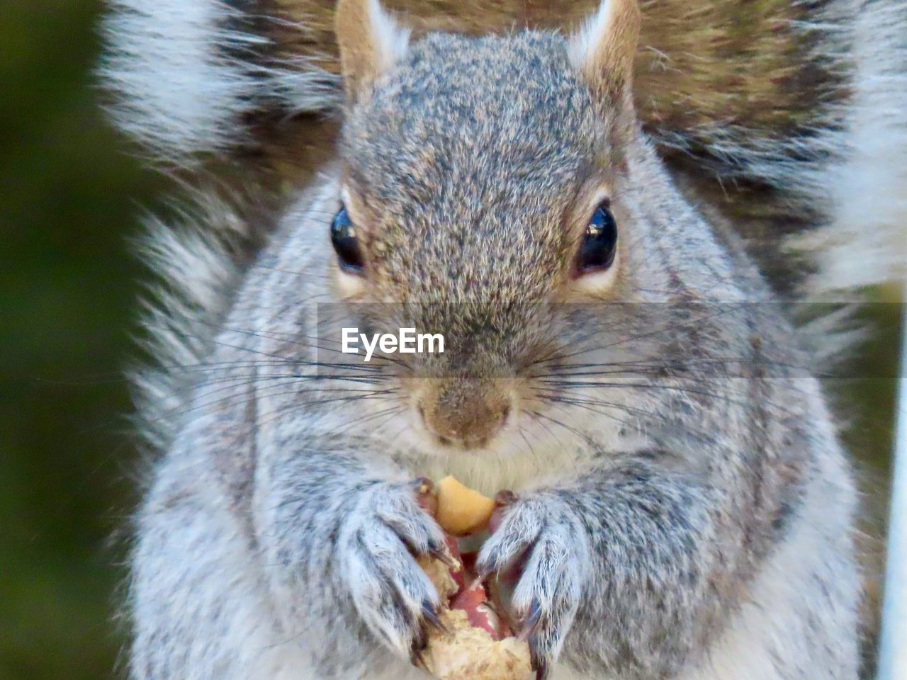animal themes, animal, animal wildlife, one animal, rodent, close-up, animals in the wild, mammal, squirrel, vertebrate, focus on foreground, no people, portrait, eating, day, looking at camera, food and drink, holding, food, whisker, animal head, herbivorous