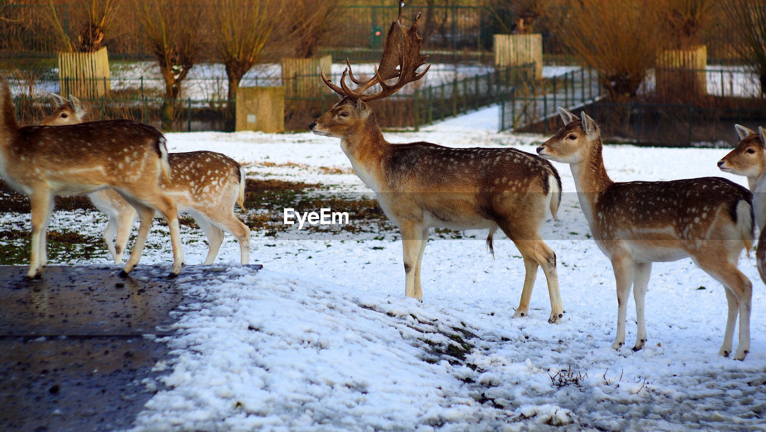 Deer on snow field