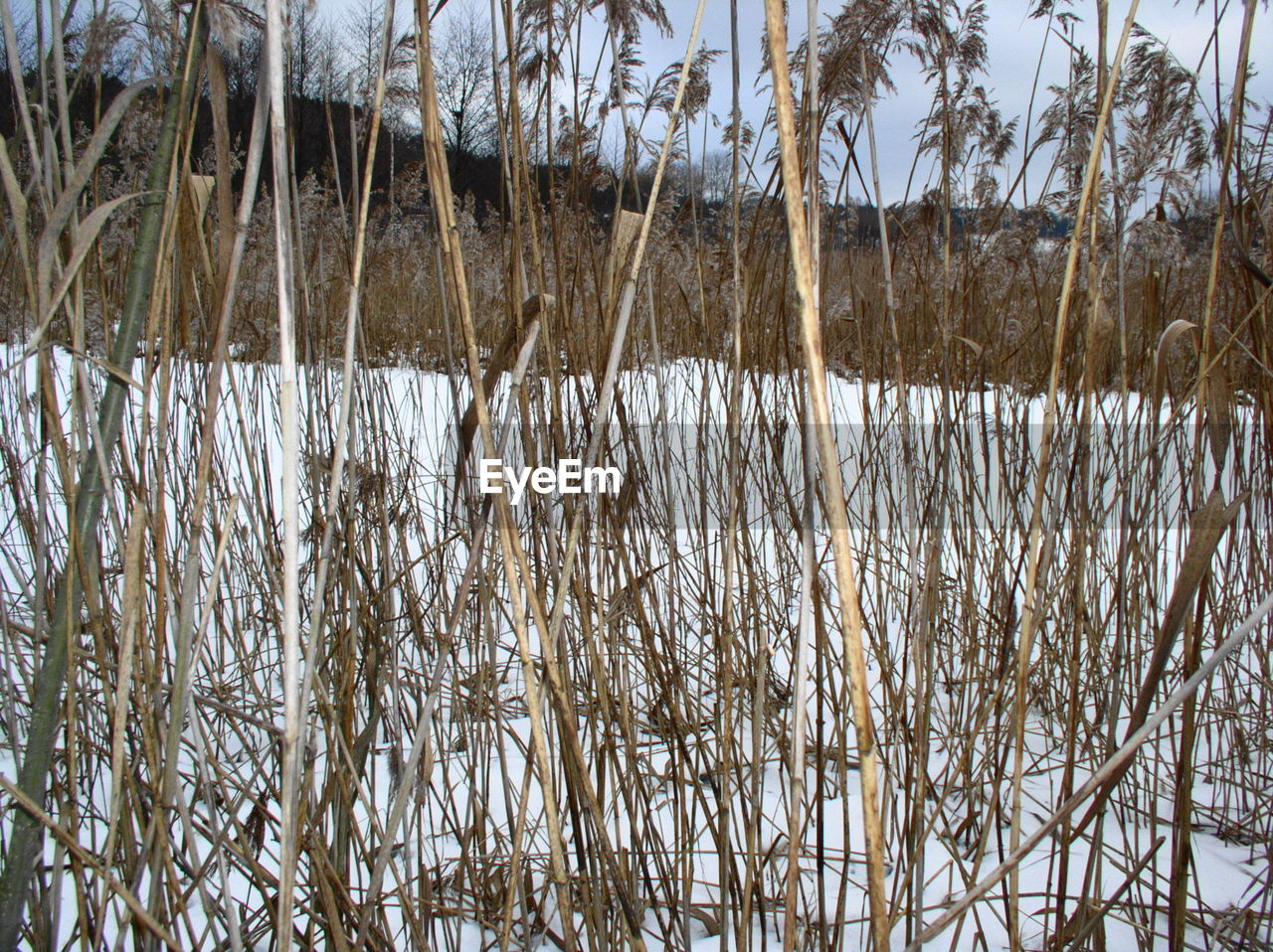 winter, nature, cold temperature, tranquility, snow, tranquil scene, cattail, growth, beauty in nature, day, outdoors, lake, plant, no people, scenics, frozen, grass, water, close-up