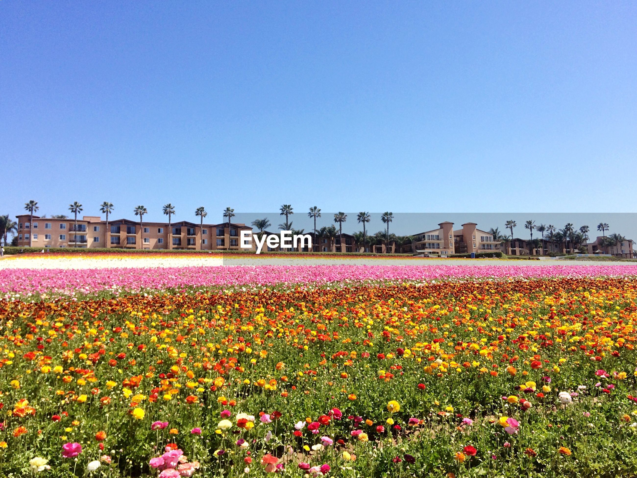 Flowers blooming on field against clear blue sky