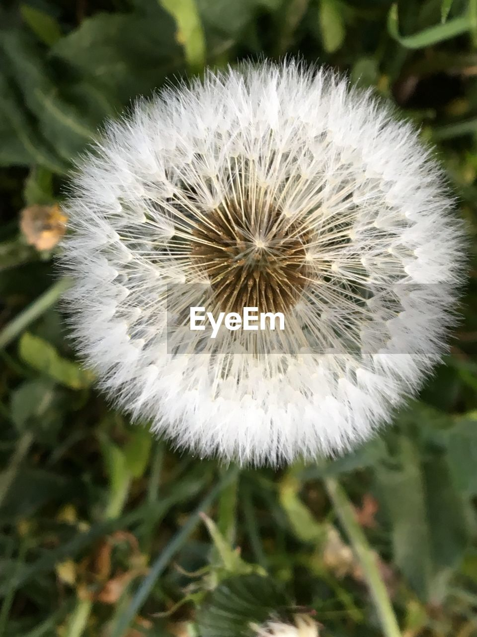 flower, fragility, flowering plant, plant, vulnerability, dandelion, freshness, close-up, focus on foreground, beauty in nature, growth, white color, nature, flower head, inflorescence, day, no people, field, softness, outdoors, dandelion seed