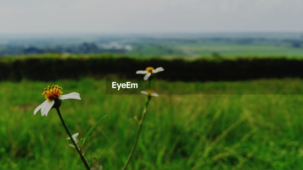 plant, flowering plant, flower, beauty in nature, growth, field, land, fragility, vulnerability, freshness, landscape, nature, green color, environment, petal, focus on foreground, flower head, tranquility, day, no people, outdoors