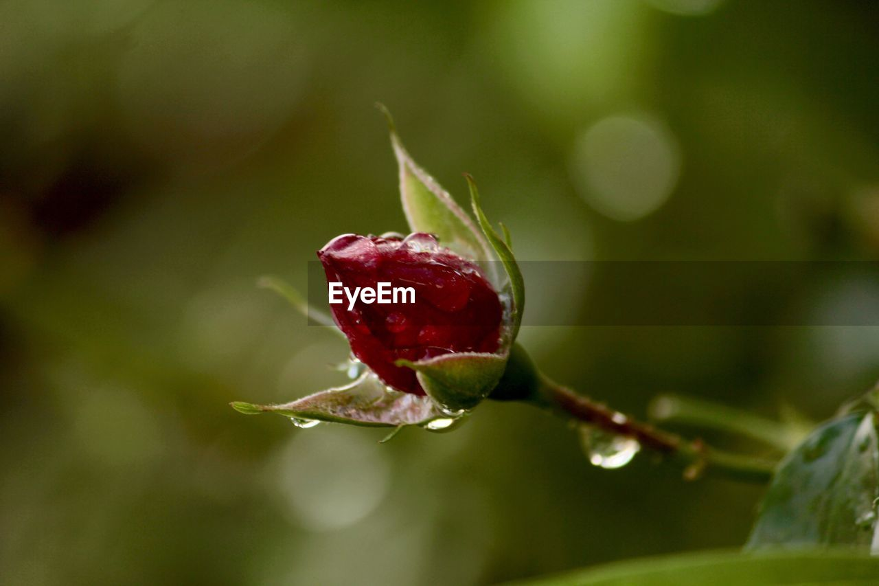 nature, red, growth, plant, no people, flower, beauty in nature, drop, close-up, outdoors, wet, fragility, day, freshness, water