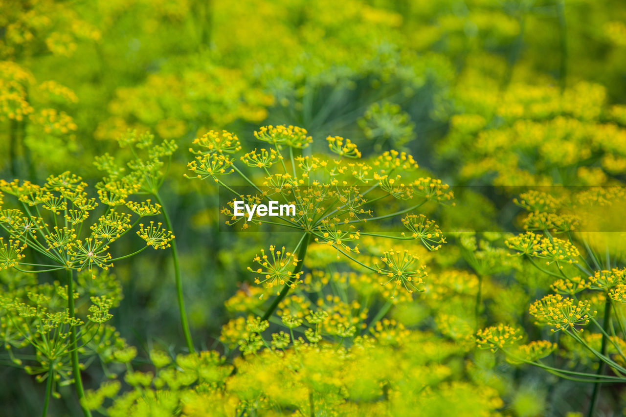 plant, growth, beauty in nature, yellow, green color, flower, flowering plant, nature, no people, freshness, field, selective focus, day, fragility, vulnerability, outdoors, tranquility, plant part, land, close-up
