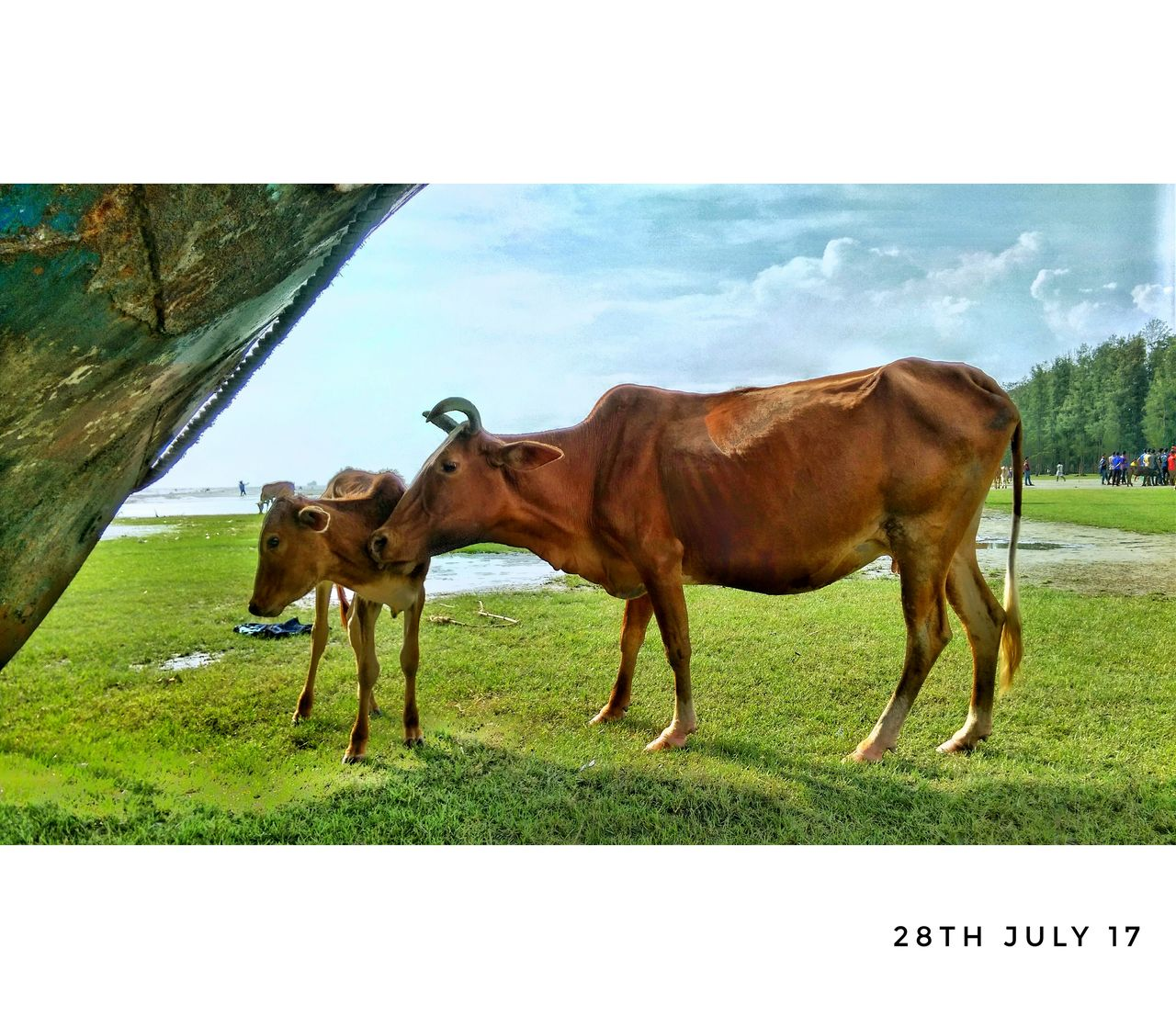 grass, animal themes, domestic animals, livestock, mammal, field, nature, day, cow, outdoors, grazing, no people, sky, tree