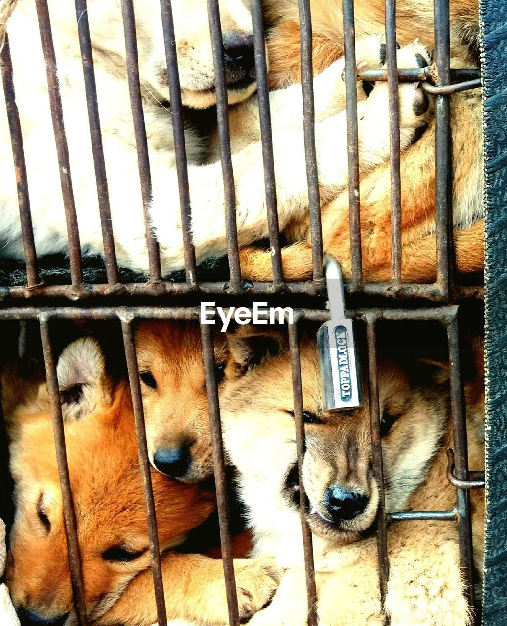 animal themes, mammal, domestic animals, pets, dog, cage, no people, indoors, one animal, young animal, close-up, day, security bar