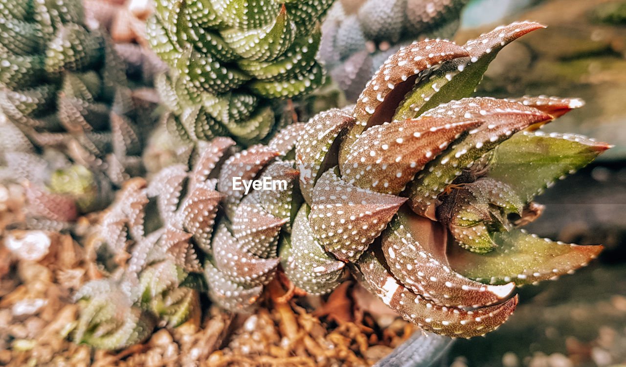 growth, close-up, plant, no people, leaf, succulent plant, plant part, beauty in nature, day, nature, cactus, green color, focus on foreground, natural pattern, outdoors, selective focus, freshness, high angle view, water, sharp