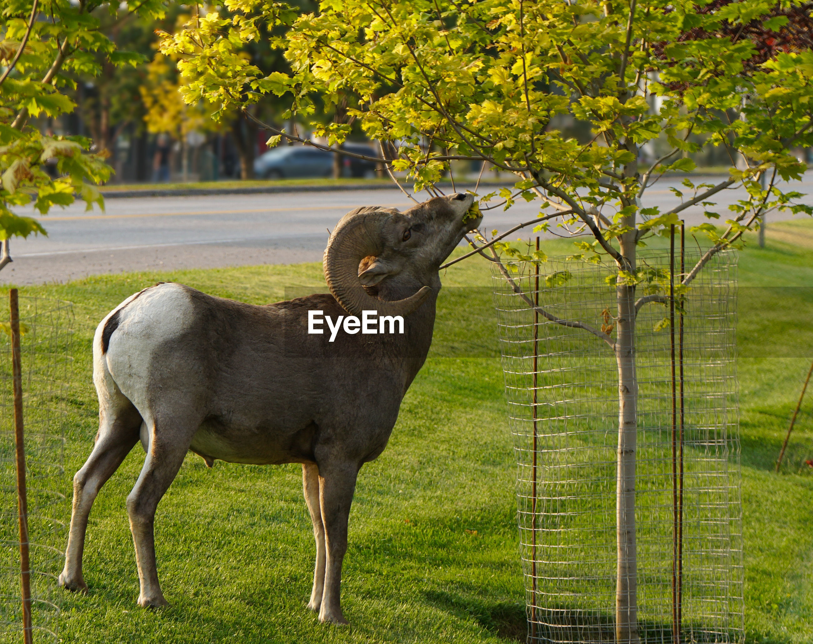 Side view of bighorn sheep eating leaves