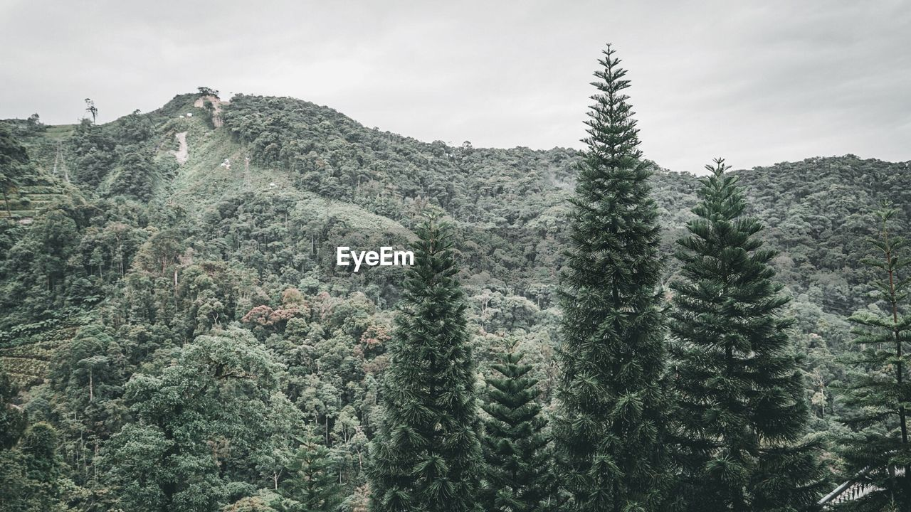 tree, plant, growth, beauty in nature, mountain, green color, nature, sky, scenics - nature, no people, tranquility, tranquil scene, day, forest, land, non-urban scene, pine tree, idyllic, coniferous tree, outdoors, evergreen tree, fir tree, pine woodland