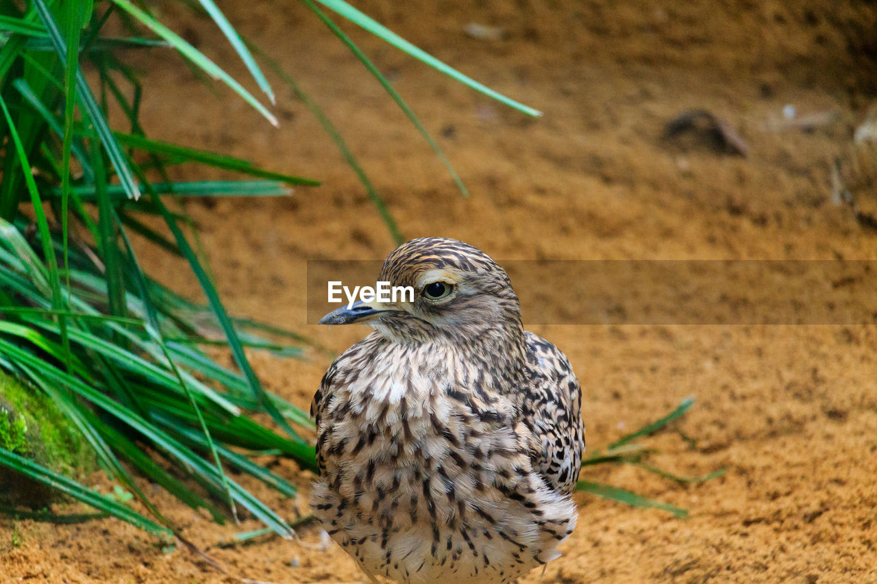 animal themes, bird, animal, vertebrate, one animal, animals in the wild, animal wildlife, land, field, nature, focus on foreground, day, no people, bird of prey, plant, close-up, looking, outdoors, looking away, grass, falcon - bird