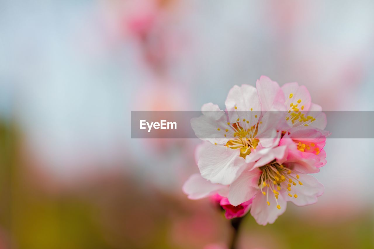 flower, nature, beauty in nature, fragility, pink color, petal, close-up, selective focus, freshness, flower head, springtime, day, growth, focus on foreground, no people, outdoors, blooming
