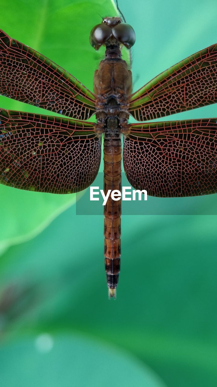 one animal, animal themes, no people, close-up, animals in the wild, animal wildlife, insect, animal, day, focus on foreground, invertebrate, green color, dragonfly, nature, outdoors, animal wing, selective focus, animal body part, water