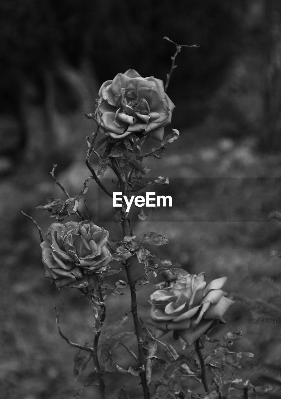 flower, petal, fragility, growth, rose - flower, plant, nature, beauty in nature, flower head, no people, focus on foreground, close-up, dead plant, outdoors, wilted plant, freshness, blooming, day, leaf, dried plant