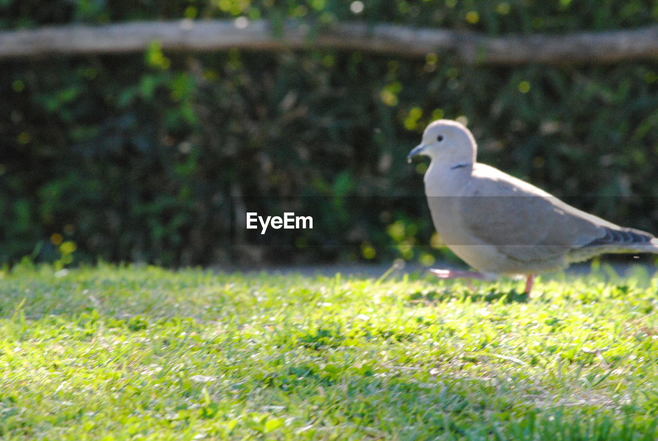 bird, one animal, animal themes, grass, nature, animals in the wild, day, outdoors, no people, perching, animal wildlife, close-up, beauty in nature, mourning dove