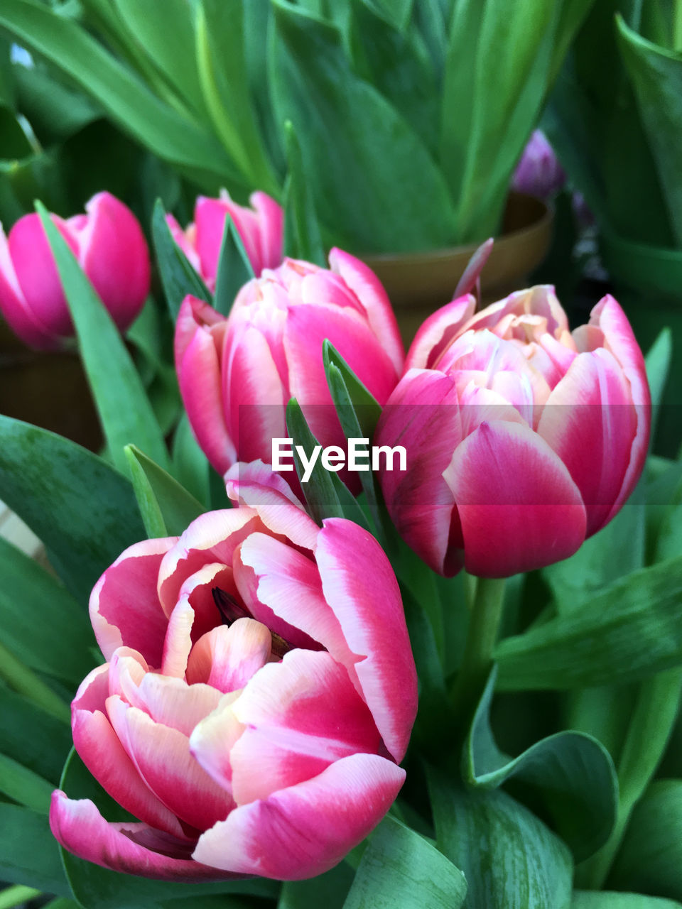 flower, petal, fragility, nature, beauty in nature, freshness, pink color, flower head, plant, growth, close-up, tulip, no people, leaf, outdoors, rose - flower, day, blooming