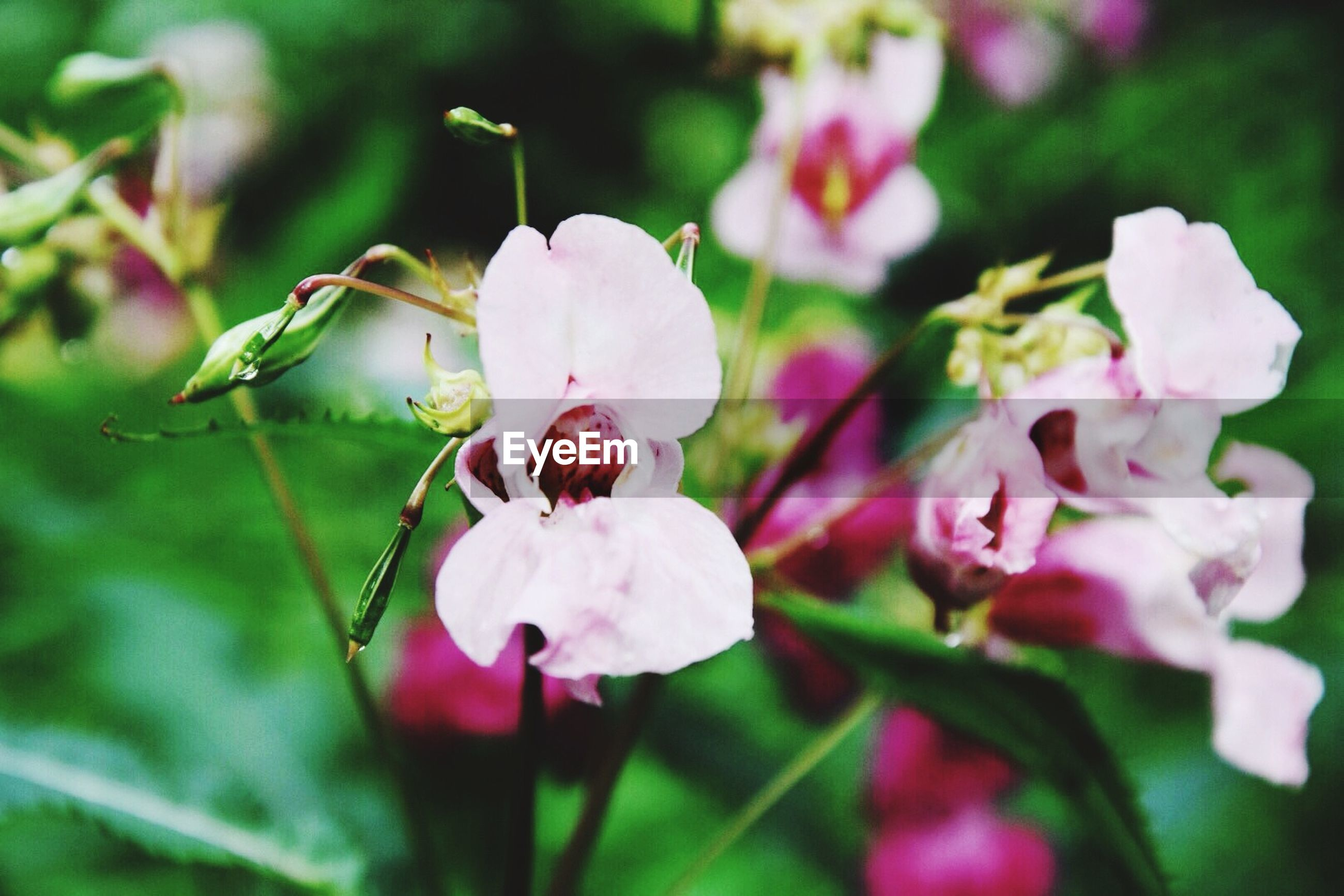 flower, freshness, fragility, growth, petal, beauty in nature, focus on foreground, close-up, flower head, nature, pink color, bud, blooming, plant, in bloom, stem, blossom, springtime, selective focus, twig