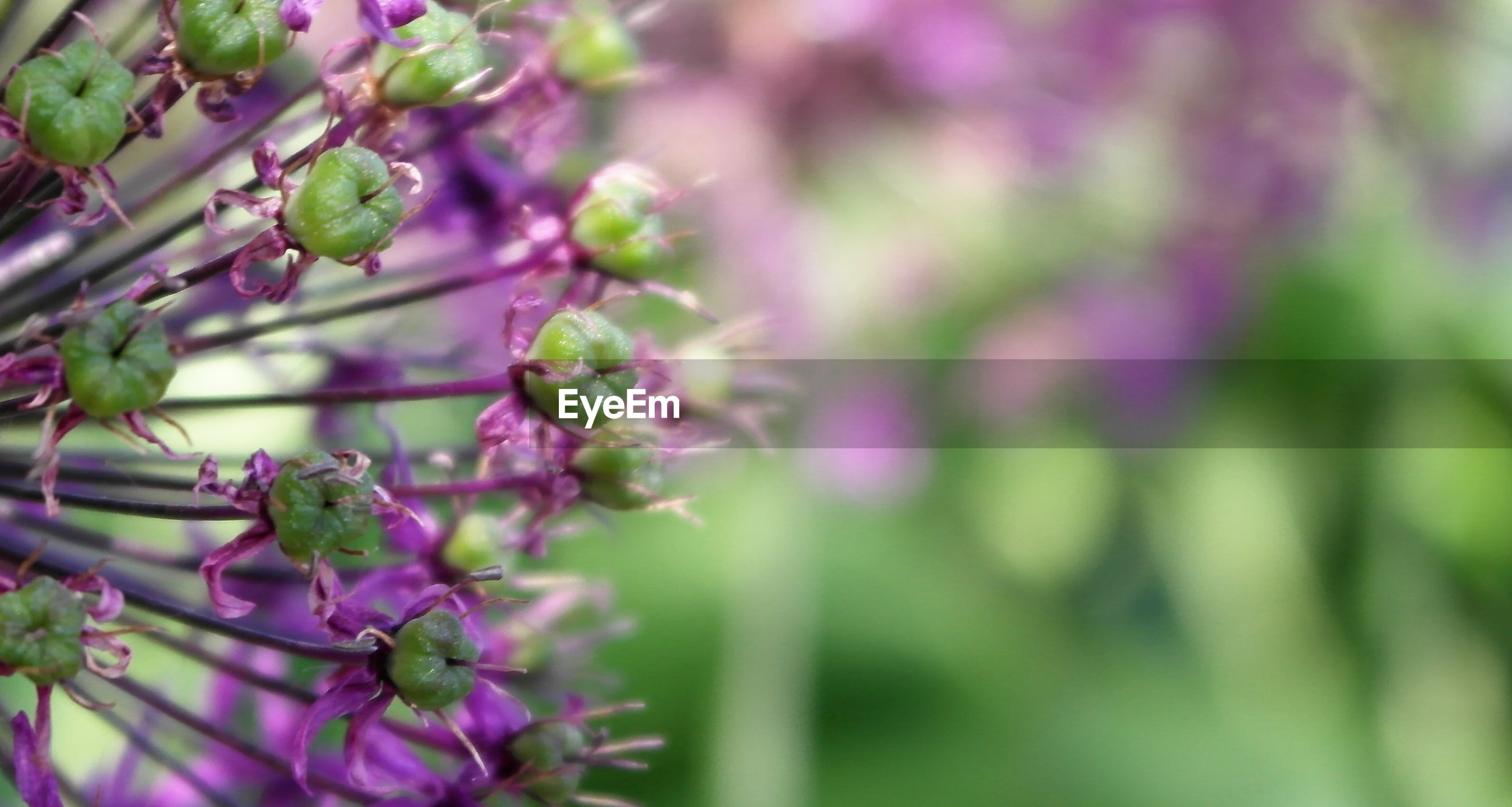 CLOSE-UP OF PURPLE FLOWER BLOOMING ON PLANT