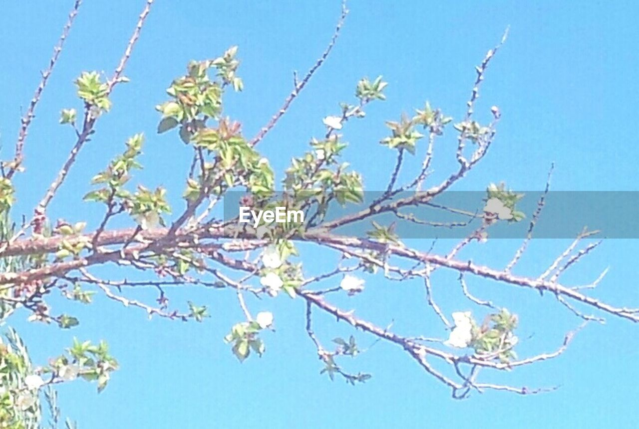 blue, branch, nature, clear sky, growth, flower, plant, tree, twig, no people, sky, outdoors, day, beauty in nature, sunlight, leaf, close-up, fragility, freshness